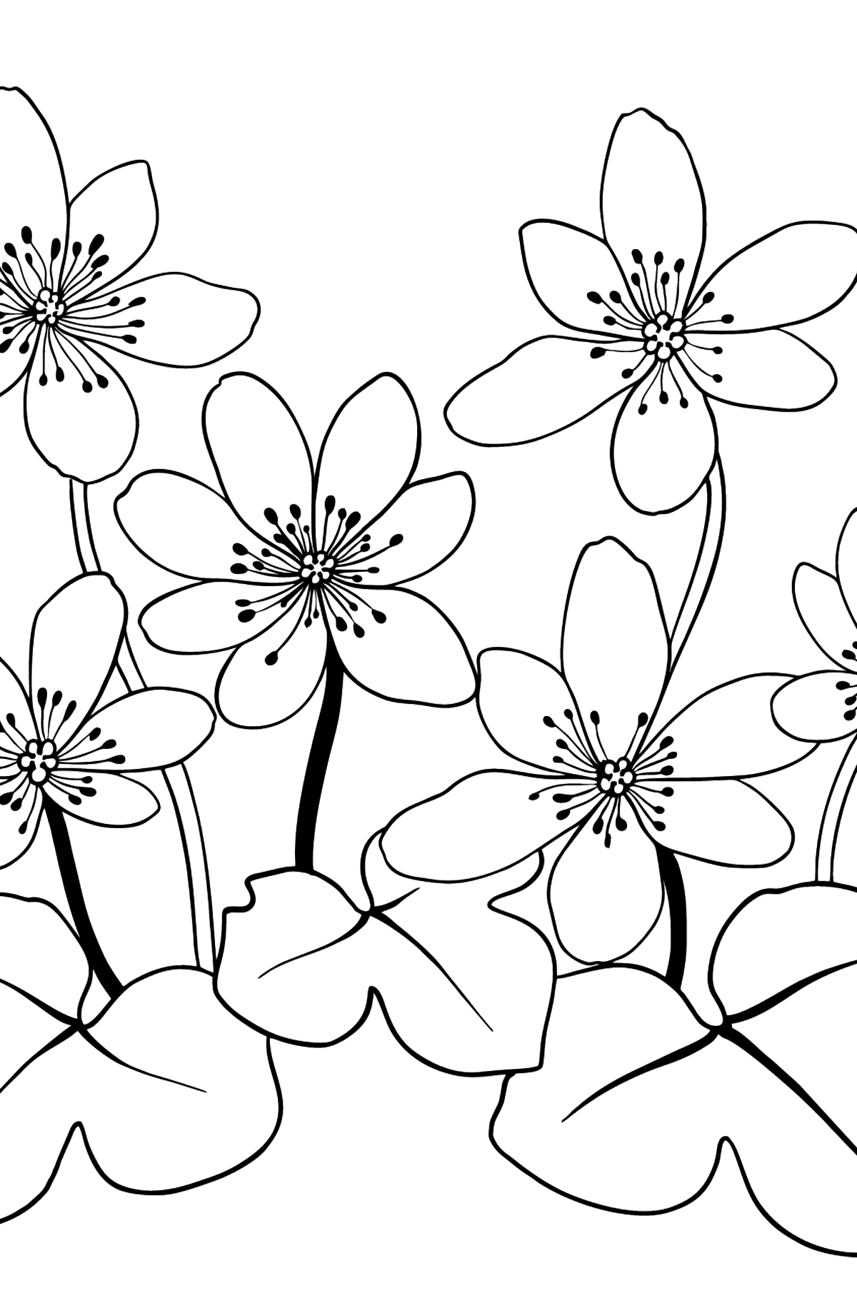 Flower Coloring Page - A Hepatica with Blue Petals - Coloring Pages for Kids