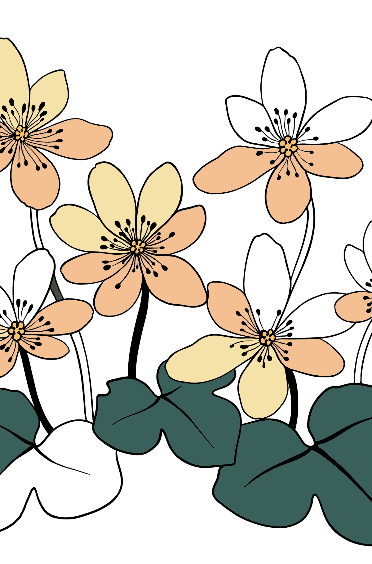Flower Coloring Page - A Yellow and Orange Hepatica - Coloring Pages for Kids
