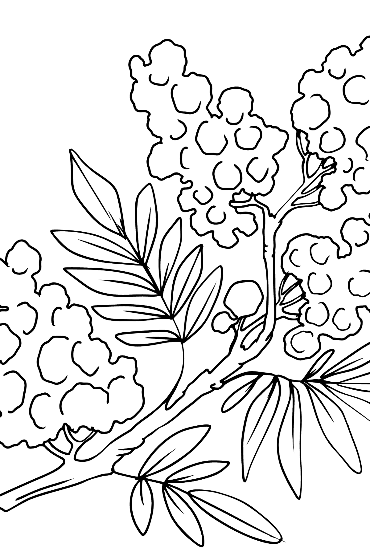 Flower Coloring Page - Mimosa - Coloring Pages for Kids